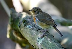 Juvenile Robin (SteveJM2009) Tags: july 2016 uk stevemaskell naturethroughthelens