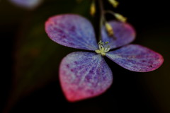 flower 928 (kaifudo) Tags: flower macro japan sapporo nikon hokkaido sigma  d750 botanicalgarden  150mm   sigmaapomacro150mmf28 hydrangeanacrophylla