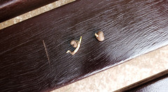 Chusan Palm Seeds Germinating - Torquay (Torquay Palms) Tags: torquay torbay tor bay the english riviera south devon devons beautiful westcountry west country uk united kingdom gb great britain england centre abbey park gardens chusan windmill tfortunei trachycarpus fortunei july 2016