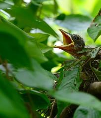 Hungry Baby Robin (Allison Faust Branson) Tags: bird robin baby chick nikon nikond600 tamron tamron70200mm