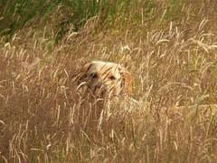 Sunshine in the long grass..x (lisa@lethen) Tags: dog pet labrador golden grasses grass field meadow sunshine sunny