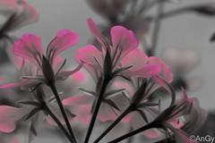 gerani in assenza di colore (AnGy_87) Tags: gerani rosa desaturazione fiori flower pink canond100 efs55250mmf456isstm pelargonium geraniacee pianta perenni exquisiteflowers desaturation fleur flora
