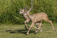 Isle Lake Olympics. (Peter Stahl Photography) Tags: olympics muledeer fawns moms summer newborn