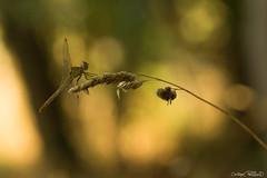 DSC09421 (christophe.perraud.44310) Tags: insectes libellules levdesoleil macro saintphilbertdegrandlieu loireatlantique wildlife faune contrejour