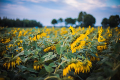Summertime sadness (katarri) Tags: nikon nikond750 d750 nikkor 50mm 14 nature flora flower flowers plant plants sunflower sunflowers field countryside country outside outdoor sky cloud clouds yellow green blue white black brown poland polska august summer summertime