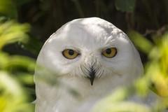Snowy Owl (Margaret S.S) Tags: bubo scandiacus snowy owl captive
