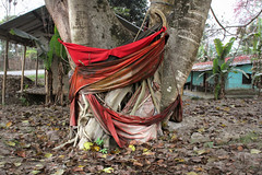 Majuli Island (fredcan) Tags: india northeastindia assam majuli island riverisland kamalabari tree trunk holytree red cloth colourful travel fredcan