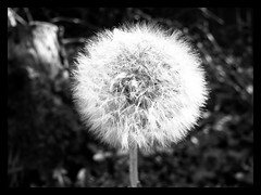 #Dandelion # clock (frankhimself) Tags: cannon cannonpowershotxs100 nature weed clock dandelion
