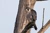 Peregrine falcon (Falco peregrinus pealei) (Tony Varela Photography) Tags: falcon peregrinefalcon falcoperegrinus falcoperegrinuspealei nisquallynationalwildliferefuge birdsofwashingtonstate diurnalraptors birdsofnorthamerica photographertonyvarela birdsofnisquallynationalwildliferefuge