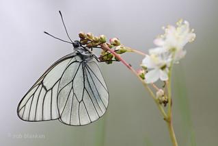 Black-veined White (Aporia crataegi, groot geaderd witje)