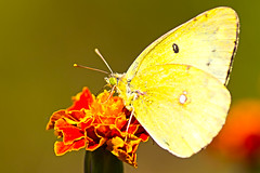 Yellow Sulphur Butterfly's Perching on Flower(  ) (Johnnie Shene Photography(Thanks, 1Million+ Views)) Tags: wild people colour macro nature animal animals yellow horizontal closeup canon butterfly bug insect lens outdoors photography eos rebel living fly focus scenery kiss view shot stuck natural image feeding outdoor no wildlife side butterflies tranquility insects scene 11 images bugs full perch flies modified sulphur shooting 28 feed yellows magnified length tamron 90mm 90 f28 tranquil hdr sticking freshness selective t3i x5 organism perching fragility    600d