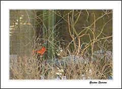 Le petit cachottier. (gastonquirion) Tags: cardinal branches couleur