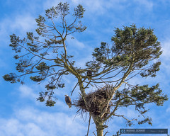 2015-02-22 Ladner Bald Eagles and Nest-16 (Michael Schmidt Photography Vancouver) Tags: blue 2 two orange brown black tree green bird yellow clouds photography parents artwork beige sitting nest beak wallart raptor perched birdofprey pictureperfect talons geolocation giclee photoprints ladnerbc canvasart baldeaglehaliaeetusleucocephalus matingpair canvasprints geocity exif:make=sony geocountry camera:make=sony southdeltabc geostate exif:aperture=ƒ90 exif:model=slta77v camera:model=slta77v michaelschmidtphotographyvancouverbc wwwmichaelschmidtphotographycom httpwwwflickrcomphotosdmichaelschmidtsets exif:lens=70400mmf456gssm exif:focallength=75mm exif:isospeed=50 dmschmidtshawca httpswwwfacebookcommsphotographyvancouver httpswwwthisiswhatiseeca michaelmspixca geo:lat=49079698333333 geo:lon=123126125