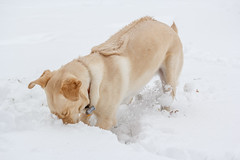 what is under here? (aimeeern) Tags: winter dog snow canon march digging michigan canine 60mm greta odc 60d