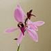 Alex's Orchid