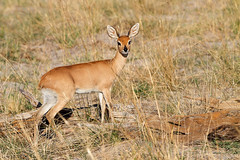 Steenbuck (Thomas Retterath) Tags: africa travel animals canon tiere wildlife urlaub ngc safari npc afrika botswana bovidae mammals allrightsreserved herbivore 2014 steenbok säugetier pflanzenfresser steinböckchen raphiceruscampestris kwando lebala canoneos7d thomasretterath canonef300lis28usm copyrightthomasretterath