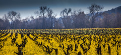 Dry Creek Winter Mustard #2 (Tom Moyer Photography) Tags: california vineyard vines mustard sonomacounty winecountry drycreekvally