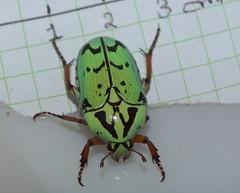 Cetoniidae>Eupoecila inscripta Flower beetle DSCF6298 (Bill & Mark Bell) Tags: exmouth westernaustralia australia geo:town=exmouth geo:state=westernaustralia geo:country=australia geo:lon=11425453egeolat2217752sgeoalt8m 11425453e2217752salt8m taxonomy:kingdom=animalia animalia taxonomy:phylum=arthropoda arthropoda taxonomy:class=insecta insecta taxonomy:order=coleoptera coleoptera taxonomy:family=cetoniidae cetoniidae taxonomy:genus=eupoecila eupoecila inscripta taxonomybinomialnameeupoecilainscripta eupoecilainscripta taxonomycommonnameflowerbeetle flowerbeetle insect animal fauna green beetle