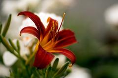 P1280482 (trummerland) Tags: flowers 2 flower colour 50mm bokeh ior mlens projectorlens bukaresti supercin
