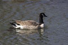 IMG_7845 (armadil) Tags: bird birds oregon duck spring ducks eugene deltapond
