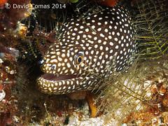 Bunaken - Sachiko's Point (CATDvd) Tags: indonesia morayeel morena underwaterphotography fotosub catdvd whitemouthmoray bunakenisland canonpowershotg9 davidcomas indonsia httpwwwdavidcomasnet httpwwwflickrcomphotoscatdvd sukawesi august2014 sachikospoint