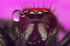 Cardinal Portrait (..oOOo..) Tags: macro nature spider jumping focus stack micro jumper cardinalis phidippus salticidae mystaceus