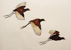 "Artwork ""Wattled Jacana"" 2015 (Wild Chroma) Tags: bird art animal illustration inflight artwork drawing letraset tria jacana"