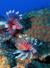Lionfish (Pterois) near coral, Cayo Largo (Rostislav Ageev) Tags: ocean red sea white fish water swimming island dangerous day underwater cuba lion deep scuba diving tropical caribbean rays spine activity fin predator cuban reef lionfish largo hazard cayo colony venomous recreational pterois
