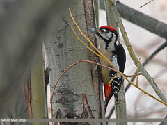 Himalayan Woodpecker (Dendrocopos himalayensis) (gilgit2) Tags: pakistan birds animal fauna canon geotagged wings wildlife feathers sigma tags location species category avifauna gilgit naltar gilgitbaltistan sigma150500mmf563apodgoshsm imranshah canoneos70d himalayanwoodpeckerdendrocoposhimalayensis gilgit2