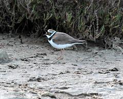 IMG_9679 (ibzsierra) Tags: bird canon salinas ibiza ave 7d pajaro oiseau baleares naturalpark parquenatural eiissa