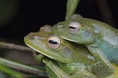 Rhacophorus prominanus_MG_5814 copy (Kurt (OrionHerpAdventure.com)) Tags: amphibian frog frogs amphibians amphibia amplexus rhacophoridae tropicalfrog tropicalfrogs rhacophorusprominanus malayanflyingfrog rhacophorid