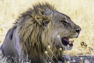 Lion resting after a kill at Ongava, Namibia.