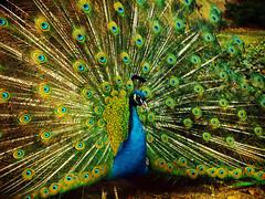 paw (Darek Drapala) Tags: park color bird nature birds poland polska panasonic panasonicg5