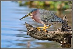 Angry Birds (WanaM3) Tags: bird heron nature water concentration nikon branch texas wildlife ngc bayou npc pasadena canoeing paddling angrybird greenheron clearlakecity supershot d7100 horsepenbayou wanam3 nikond7100 sunrays5