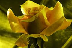 Doppelganger  (Golden Sunrise) (Jack o' Lantern) Tags: flowers roses rose doppelganger saariysqualitypictures
