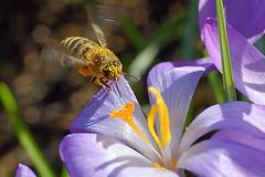 Bee Mine 1 (sjnewton) Tags: uk flowers england kewgardens london fauna spring nikon purple bee 2015 d600 105mmf28dmicro orchidexhibition