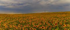 Girasoli (Enrico Cusinatti) Tags: travel vacation sky orange cloud france nature yellow clouds canon eos nuvole nuvola natura giallo cielo fiori fiore colori viaggi vacanze arancione orizzonte nubi vegetazione canoneos6d vallensole enricocusinatti