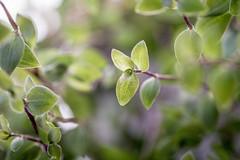 Little leaves (WillemijnB) Tags: green plante groen pattern dof bokeh vert 100mm blad blaadjes organic bladeren feuillage grun organicpattern eos70d