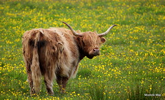 Check out my horns (mootzie) Tags: highland cow hairy ginger horns large croft ness lewis scottish scotland buttercups flowers yellow