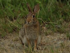 Big Buck..... (l_dewitt) Tags: rabbit cottontail wildlifeimages backyardbirds wildlifephotos natureimages southernnewengland southeasternconnecticut easterncottontailrabbit nikonwildlifephotos