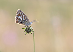 Chalkhill Blue (Andy Ingham) Tags: