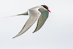 Arctic Tern (coopsphotomad) Tags: arctic tern arctictern bird wildlife nature birdinflight flight feathers seabird sea scotland britishbird avian