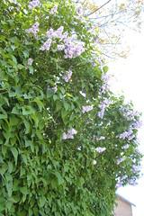 Pl24052010 070 (Rumskedi) Tags: fleur monde europa europe rollei belgi belgique belgien foy chevetogne pl24052010 foy24052010 lilas