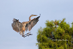 The Great Blue Heron just before touchdown. (bananaman33428) Tags: evergladesphotographicsociety birdwatcher greatblueheron landing greencay