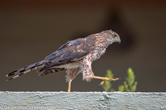 Cooper's Hawk does silly walk (Kukui Photography) Tags: coopers hawk arizona backyard bird tucson coopershawk