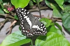 Citrus or Christmas Butterfly, Papilio demodocus (sarracenia.flava) Tags: papilionidae papilio demodocus citrus swallowtail butterfly house denver pavilion