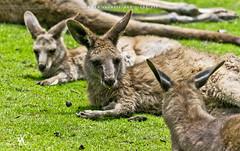 Sunning (creati.vince) Tags: creativince shanghai wildanimals kangaroo china mammals pudong shanghaiwildanimalpark