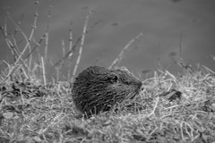 Buzz Cut (Nihil Baxter007) Tags: animal beaver buzzcut tier biber