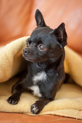 ifttt 500px dog chihuahua black blanket couch orange yellow portrait
