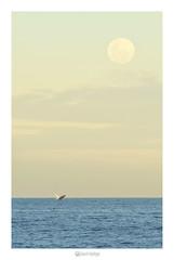 Nambucca heads nsw 2448 (marcel.rodrigue) Tags: nambuccaheads moon nsw midnorthcoast australia ocean marcelrodrigue jkamidnorthcoast photography